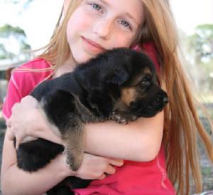 German Shepherd Puppies For Sale In Florida